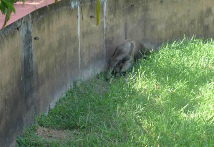 FG Zoo Ameisenbär