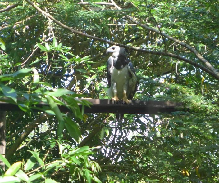 FG Zoo Harpyie hat ganz schön große Krallen