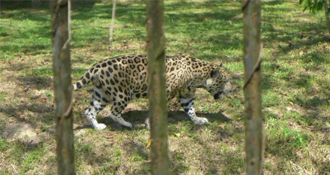 FG Zoo Jaguar
