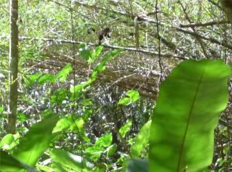 Suriname Peperpot fast zu schnell fürs Foto