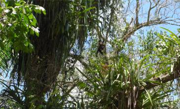 Suriname Peperpot Kletterkünstler