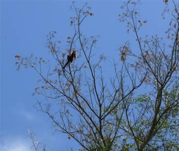 Suriname Peperpot mit den Blüten kann man neugierige Menschen beschmeißen