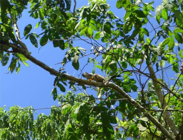 Suriname Peperpot neugierige Äffchen