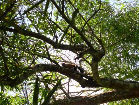 Suriname Peperpot schon wieder ein Affe