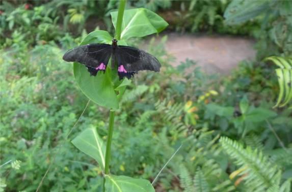 Suriname Schmetterling mit rosa Punkten