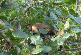 Suriname Perica Affenbesuch 10