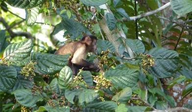 Suriname Perica Affenbesuch 11