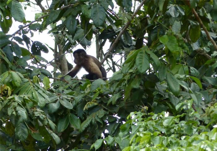 Suriname Perica Affenbesuch 3