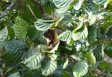 Suriname Perica Affenbesuch 5