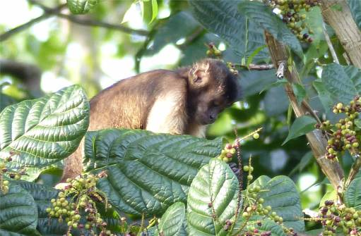 Suriname Perica Affenbesuch 6