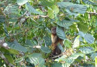 Suriname Perica Affenbesuch 9