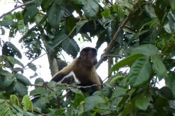 Suriname Perica neugieriger Affe