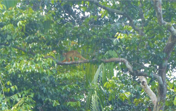 Suriname Perica Totenkopfäffchen