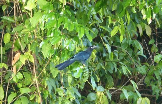 Suriname schillernd blau und ziemlich laut