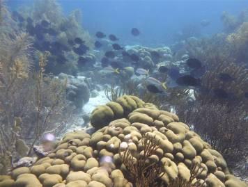 Bonaire Doktorfische im Schwarm