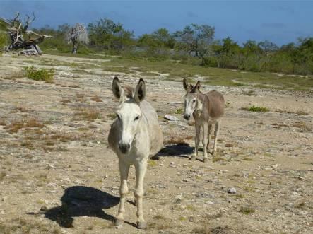 Bonaire Eselbegegnung