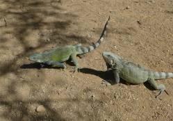 Bonaire Leguane mögen Spekulatius