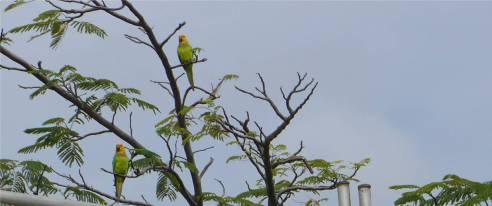 Bonaire Papageien