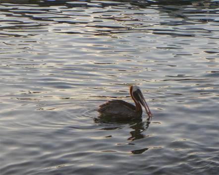 Bonaire Pelikan