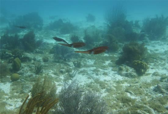 Bonaire Sepia