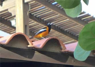 Bonaire fröhlicher Vogel