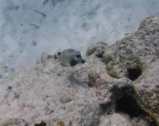 Bonaire vergnügter Kofferfisch