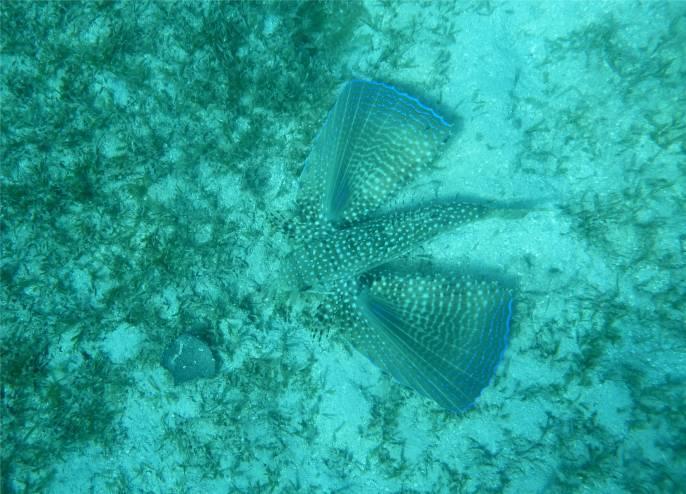 Bequia geflügelter Fisch
