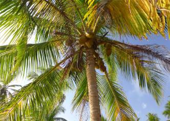 san blas kokospalmen ueberall