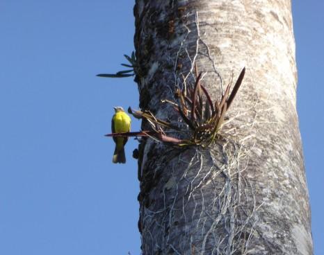 Panama SBM Epiphyt auf der Palme dient als Vogelwohnung