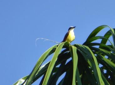 Panama SBM gelber Vogel