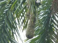 Panama SBM haengende Nester