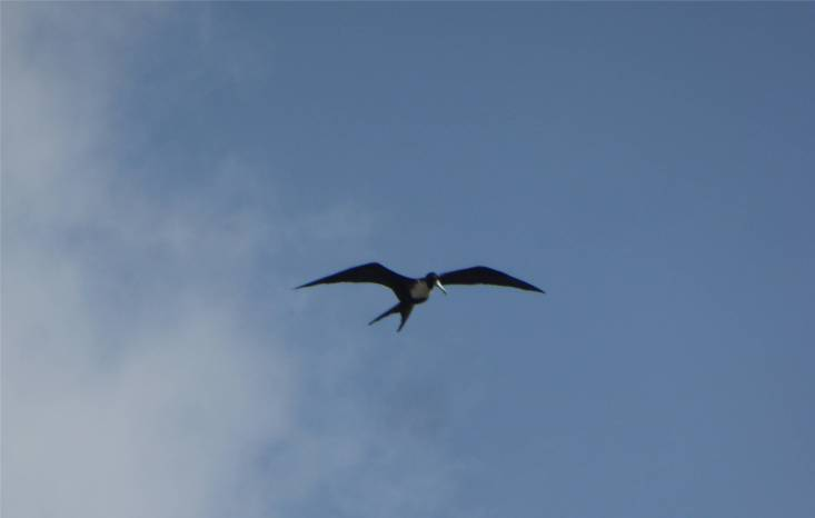 Panamakanal Fregattvogel