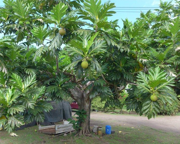 fp-hiva-oa-der-brotfruchtbaum-hat-so-schoene-blaetter8830111551349111508..jpg