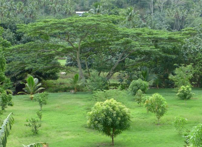 FP Nuku Hiva Taipivai was fuer ein Baum