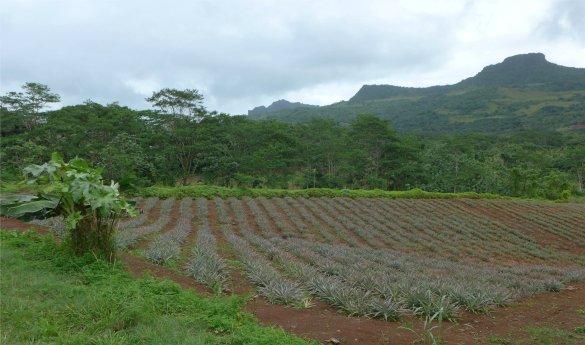 fp raiatea ananasplantage1838197036706314318..jpg