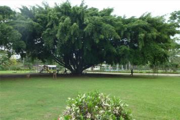 Fiji Labasa was fuer ein Baum