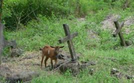 Fiji Makogai Ziegen auf dem Leprafriedhof