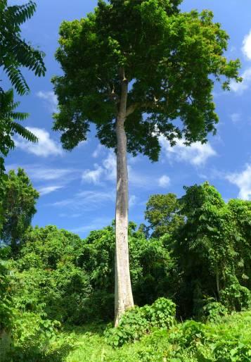 Samoa das ist nicht der Baum den wir uns ansehen sollen trotzdem schoen