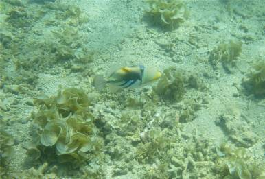 Samoa UW Palolo Deep dieser kleine Picasso Drueckerfisch wollte in meine Flossen beissen
