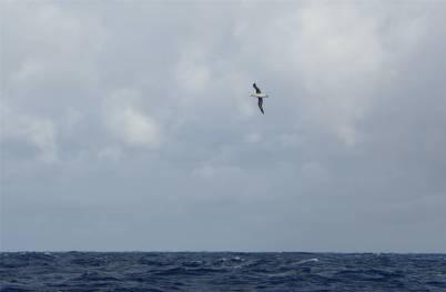 Fiji NZ unser erster Albatros.JPG