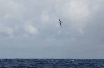 Fiji NZ unser erster Albatros