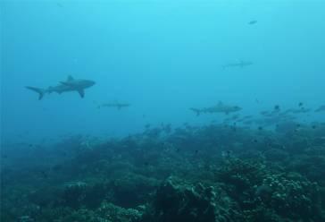 FP Fakarava Sued Haie auf Augenhoehe