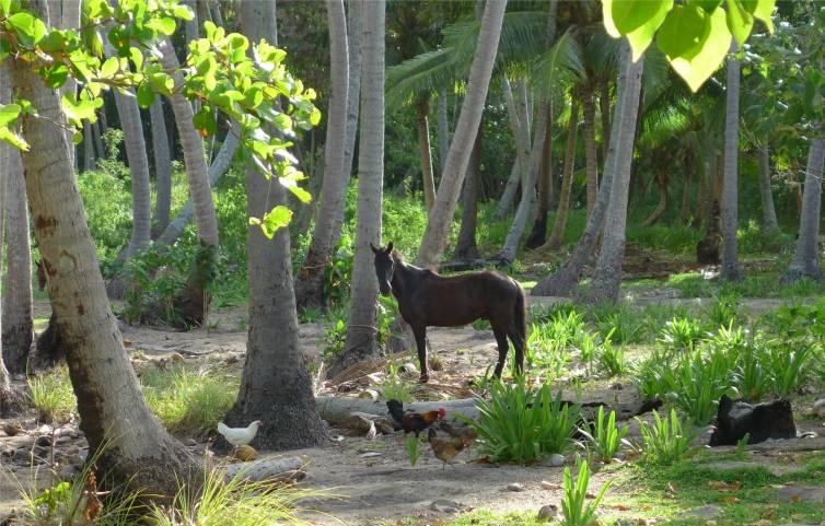 FP Nuku Hiva Pferd Huehner kokospalmen