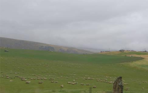 NZ ausgerichtete Schafe