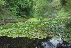NZ Kerikeri Seerosenteich