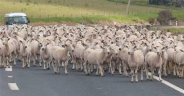 NZ Northland die Schafe haben ganz eigene Ideen