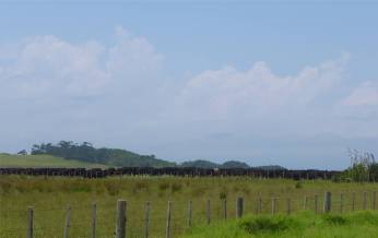 NZ Northland Rinder so weit das Auge reicht