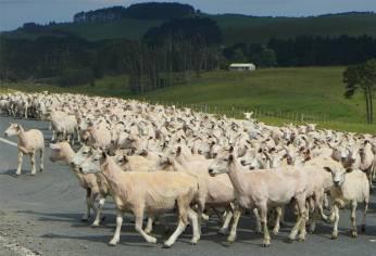 NZ Northland Schafe mit Sommerfrisur