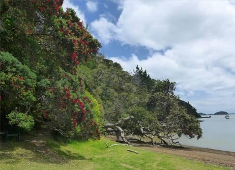 NZ Opua bluehende Weihnachtsbaeume
