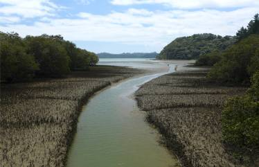 NZ Opua Coastal Walk Mangroven am Flussufer